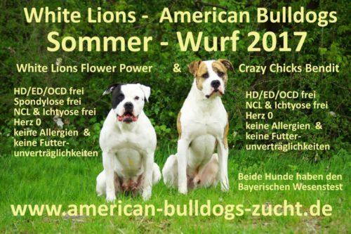 White Lions Amercian Bulldogs Welpen Standard Typ